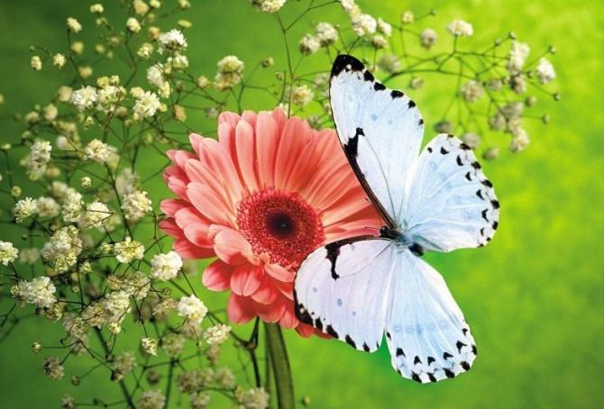 Ō Chō (papillon)