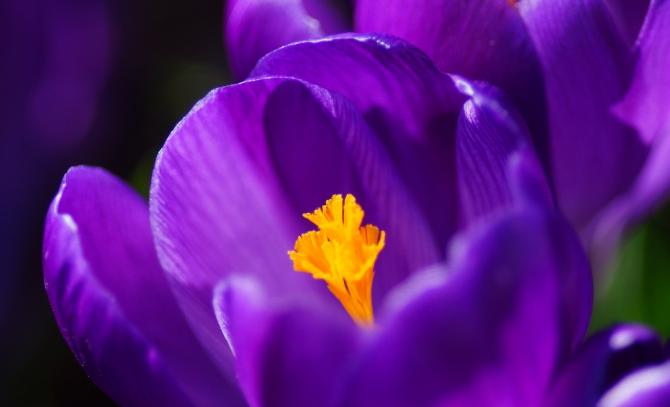 Sumire (fleur violette)