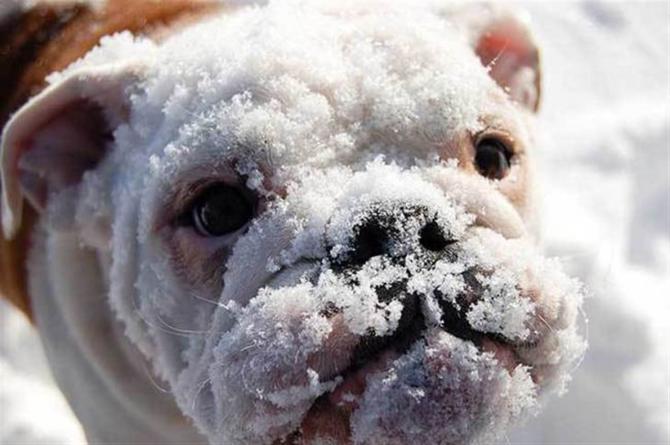 Bulldog: