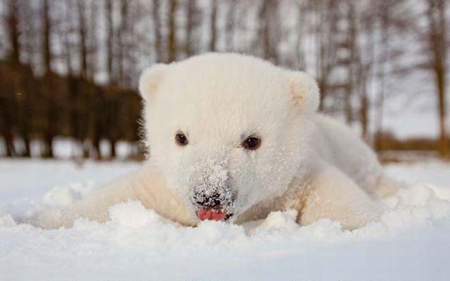 Isbjörn: