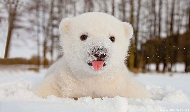 Urso polar: