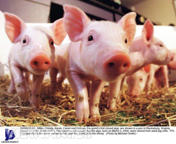 Свинья семья