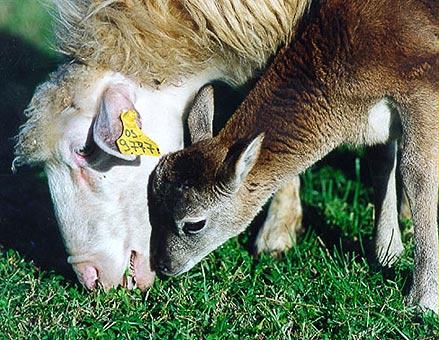 Ombretta, the mouflon