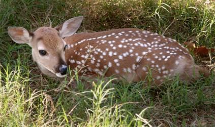 The dewey deer