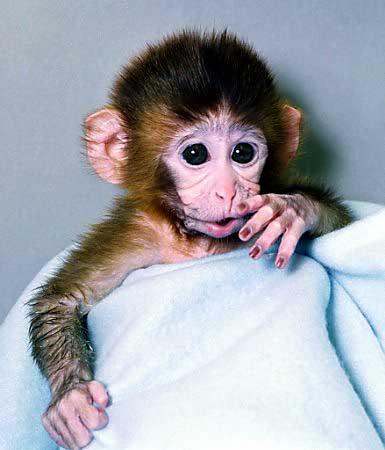The Rhesus monkey
