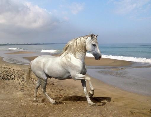 Андалузский конь.