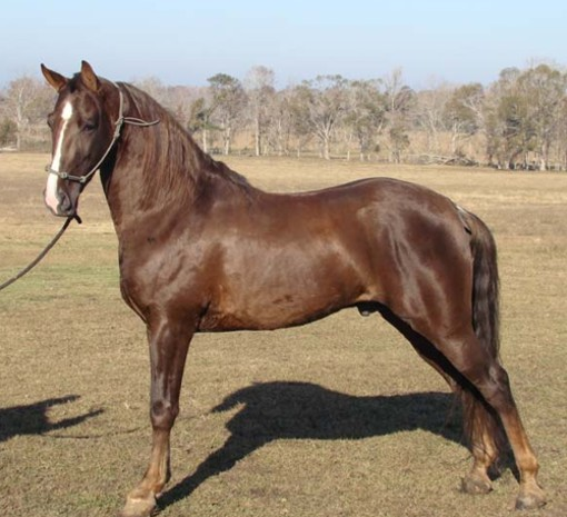 Прогулочная лошадь Теннесси.
