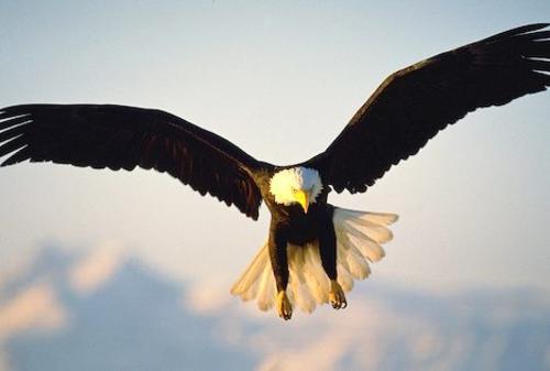 Самки белоголовых орланов на треть крупнее самцов