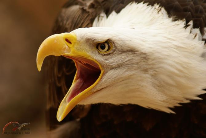 A águia americana é o símbolo nacional dos Estados Unidos
