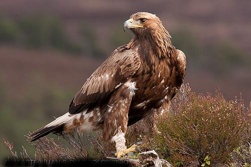 A águia dourada atinge a maturidade sexual aos 4-5 anos de vida