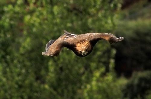 A águia dourada, quando voa em busca de presas, pode atingir uma velocidade de 240 quilômetros por hora