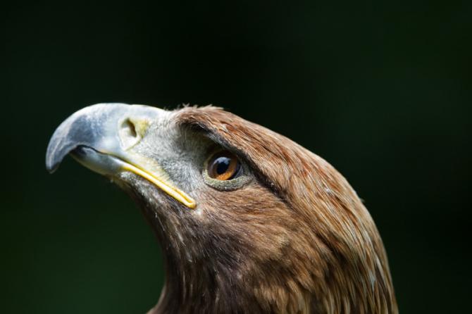 A águia dourada tem 2 pontos focais nos olhos, um permite ver de frente e o outro de lado