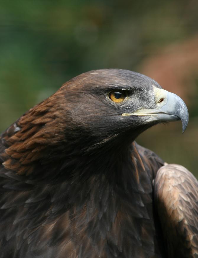 A águia dourada vive até 30 anos na natureza, em cativeiro pode se tornar uma vida mais longa