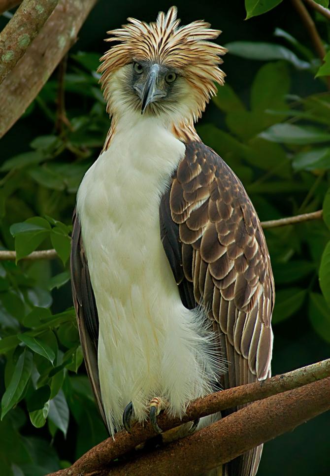 A maior é a águia das Filipinas
