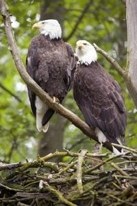 A pair of eagles lives together all their lives