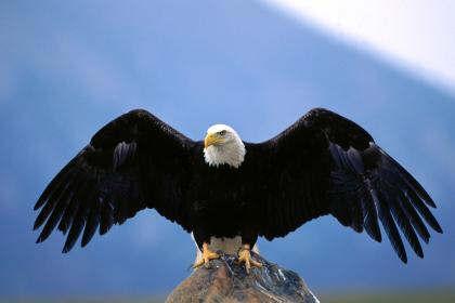 As águias são o maior pássaro predador