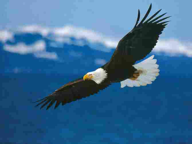 Bald eagles are not bald