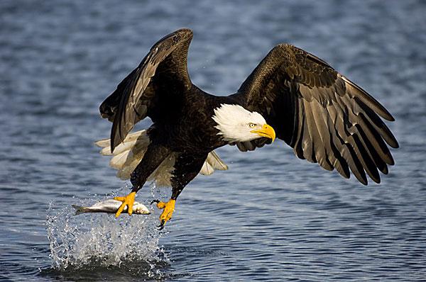 Bald eagles usually eat fish