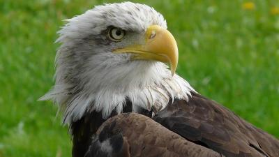 Curiosidades das águias