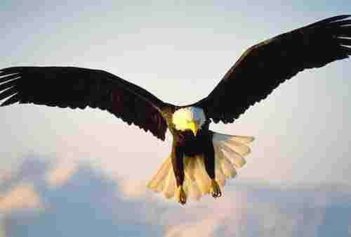Female bald eagles are a third larger than males
