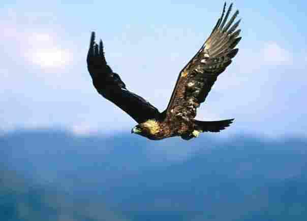 Some golden eagles eat turtles