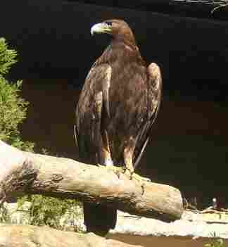 The golden eagle is more related to hawks than to the bald eagle