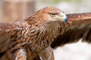The golden eagle is the fastest