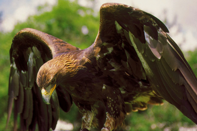 The golden eagle is the national symbol of Mexico