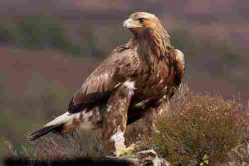 The golden eagle reaches sexual maturity at 4-5 years of life