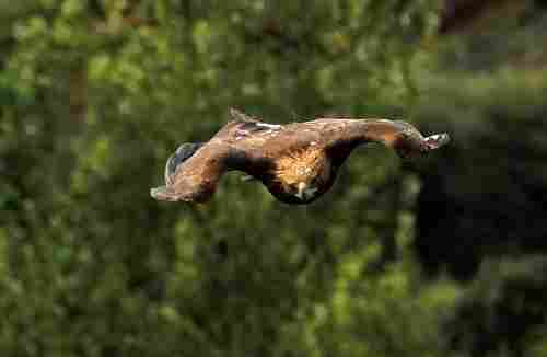 The golden eagle, when it flies down chasing a prey, can reach a speed of 240 kilometers per hour