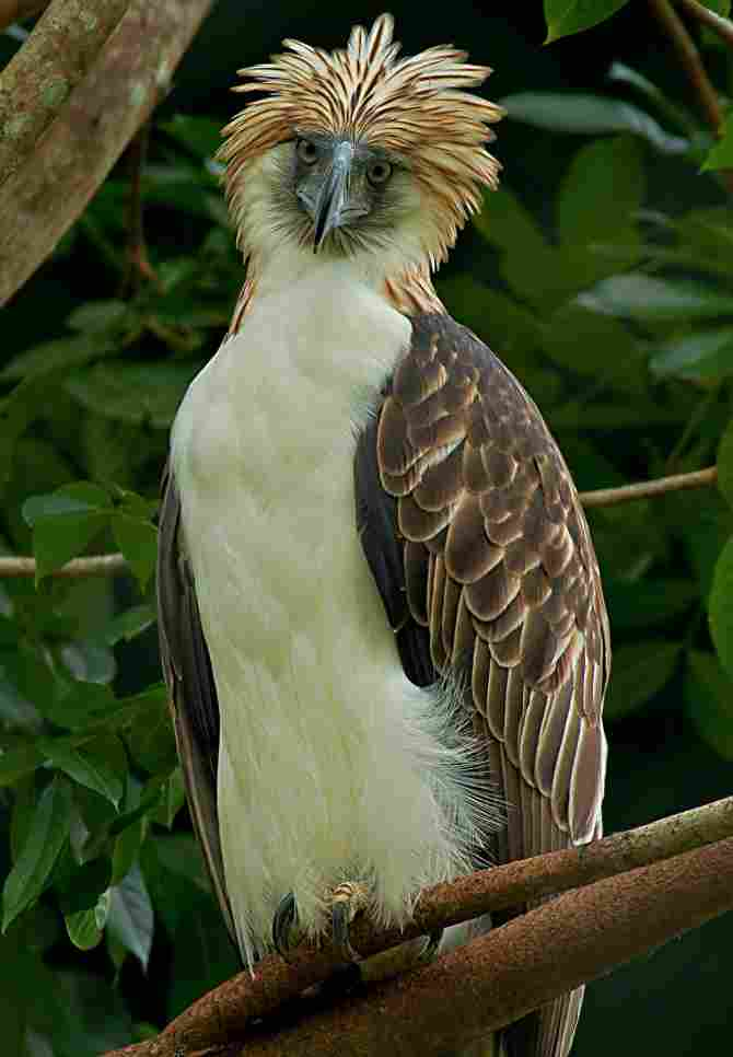 The largest is the eagle of the Philippines