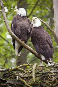 Um par de águias vive junto por toda a vida