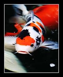 Рыба кои обыкновенная