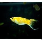 Молли рыба