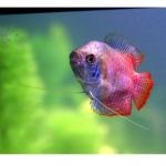 Рыба гурамис