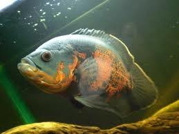 Оскар рыба