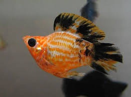 Молли балон рыба
