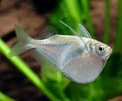 Топор рыба