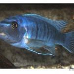 Циклическая рыба Малави