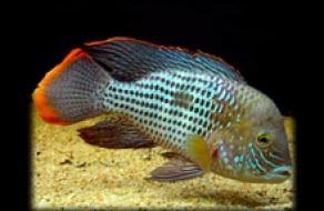 Зеленая рыба-террор