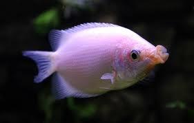 Бесукон рыба