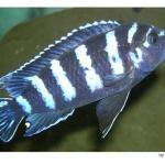 Карликовая циклическая рыба