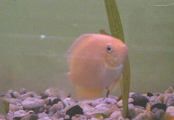 Северум рыба