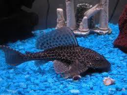 Очиститель аквариума (plecostomus)