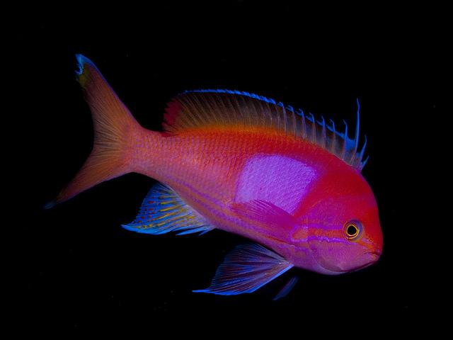 Anthia fish