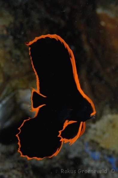 Batfish (Young)