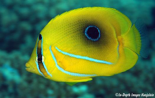 Bennett butterfly fish