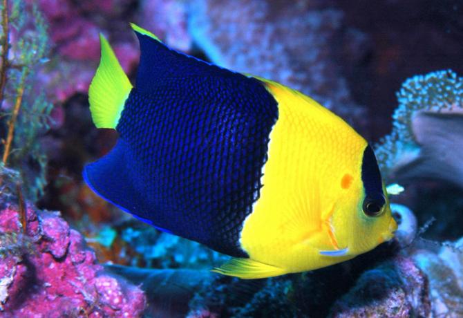 Bicolor Angel Fish