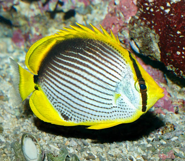 Black spotted butterfly fish