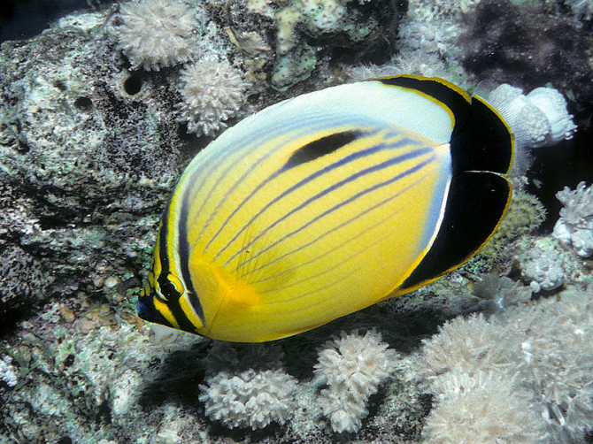 Black-tailed butterfly fish